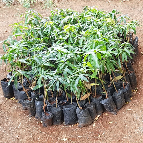 Fruit Tree Saplings